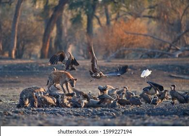 Group of african scavengers. A Spotted Hyenas, Crocuta crocuta on a rocky plain lit by the morning sun feeds on an elephant carcass. Walking safari adventures. Plains of Mana Pools, Zimbabwe.