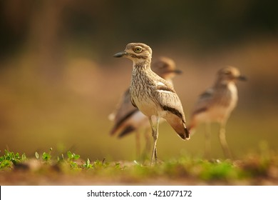 Group of african wader birds,Water Thick-knee, Burhinus vermiculatus standing on the edge of the pond against blurred background. Ground level photography. KwaZulu Natal, South Africa.