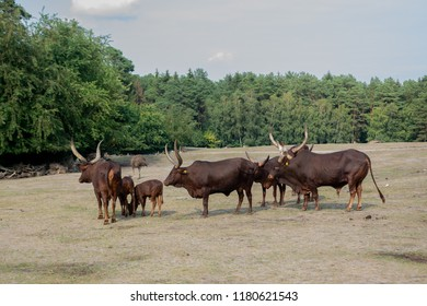 Group of African Watussi Cows