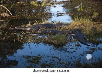 Group of alligatort and birds wading around at sunset light