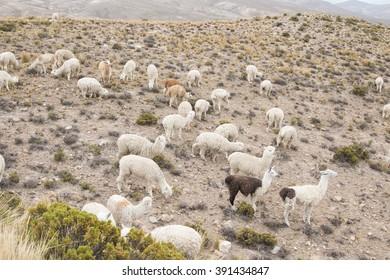 Group of alpaca grazing