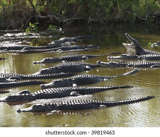 Group of American Alligators (Alligator Mississippiensis) basking in the sun in the Florida Everglades during the winter drought