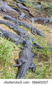 Group of American Alligators (Alligator Mississippiensis) basking in the sun in the Florida Everglades during the winter/spring drought