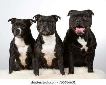 Group of American staffordshire dogs isolated on white.