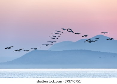 Group of american white pelicans flying in formation over lake during sunrise with pink illuminated sky and mountains in the background