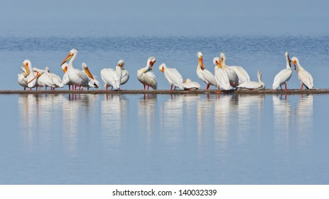 A group of American White Pelicans resting on a thin land bar in a lake.