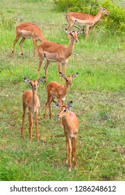 A group of antilopeimpala in the Kruger Safari Reserve in South Africa