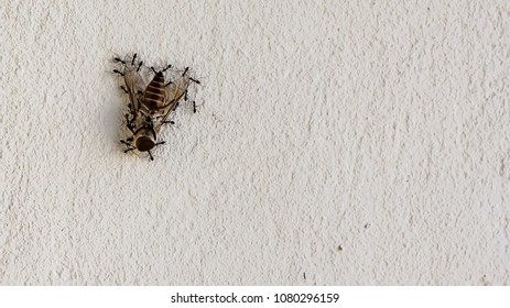 group of ants working together to carry a fly up a wall. Team work concept.