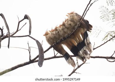 Group of anu-branco (Guira guira), bird from brazilian areas between cerrado fields and rainforest perched on a flamboyant (Delonix regia, royal poinciana) tree