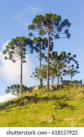 Group of Araucaria angustifolia trees in Cambara do Sul, Rio Grande do Sul, Brazil
