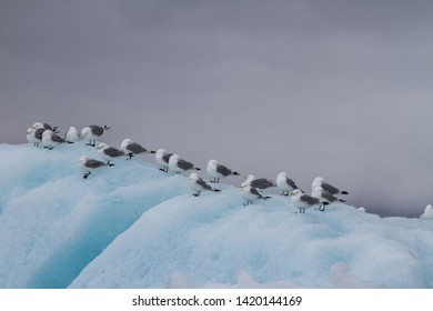 Group of arctic skuas, Larus glaucoides, sitting on iceberg in the arctic ocean