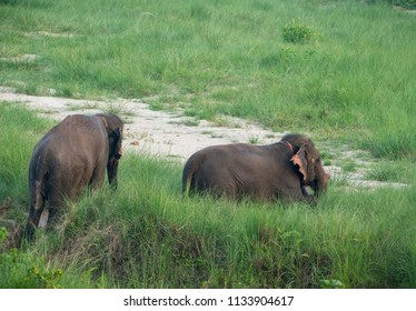 Group of Asian elephant taking bath in the pond. Wildlife photo in Asia