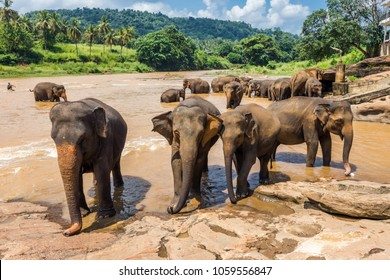 A group of asian elephants bathing in the river and standing on the bank. Pinnawala Elephant Orphanage, Sri Lanka