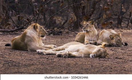 Group of Asiatic Lions, Gir forest Gujarat India