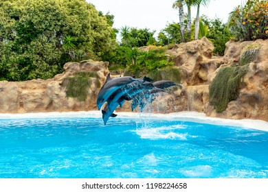 A group of Atlantic bottlenose dolphins (Tursiops truncatus) make a jump out of the water.
