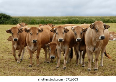 group of aubrac cows