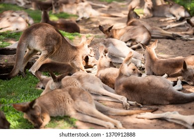 Group of Australian kangaroos outdoors during the day