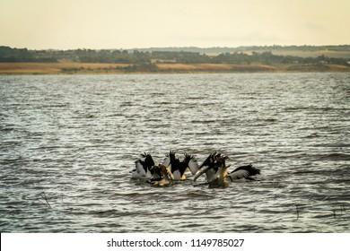 Group of Australian Pelican Pelecanus conspicillatus diving for food on Lake Colac