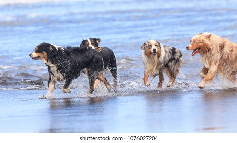 Group of Australian Shepherd dogs playing in the beach