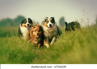 group of Australian Shepherds running through the meadow, picture made in vintage style