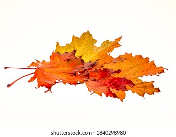 group of autumn leaves on a white background, several bright maple leaves in a bunch, fall season, basis for design