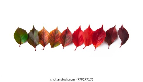 Group of autumn leaves in order of colour transition
