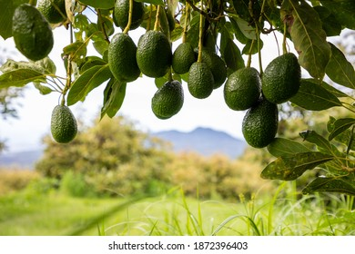 group of avocados hanging on a tree