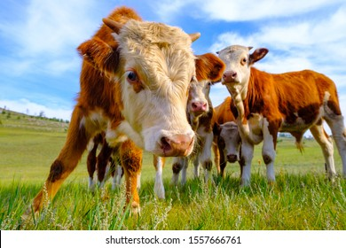 A group of baby calves grazing on the meadow with green grass in summer