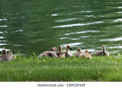 A group of baby Canadian geese resting together in the grass next to a pond in spring.