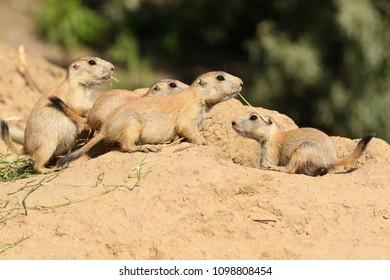 Group of baby prairie dog near their burrow