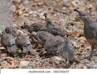 A group of baby quail are on a family outing, and Mom is keeping a close eye out for them.