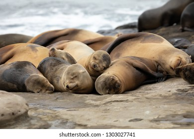 Group of Baby Sea Lion pups sleeping on the rocks La Jolla, San Diego, California