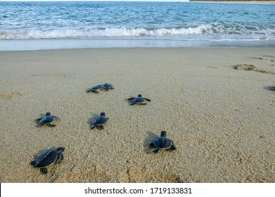 Group of baby sea turtle making their first step into ocean