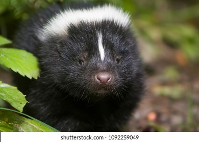 A group of baby skunks near a public trail in the summer