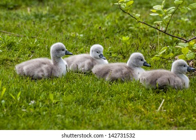 A group of baby swans in a row
