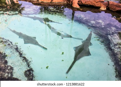 A group of Bahamas sawsharks in shallow waters seeing them above with white sand in Bahamas.