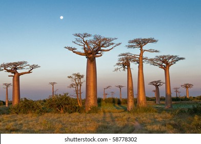 Group of baobab trees, Madagascar