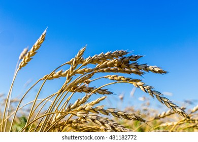 Group of barley spica stem in autumn season at blue sky background
