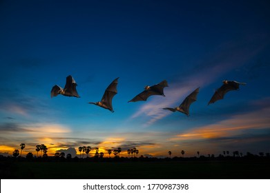 A group of bats flying in the evening  (Lyle's flying fox)
