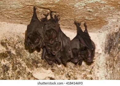 A group of bats hangs from the ceiling of a cave.