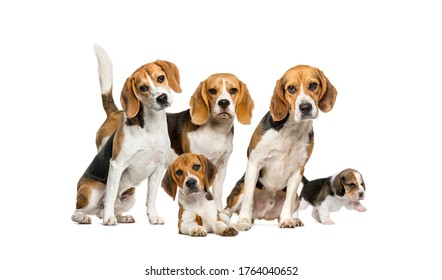 Group of Beagles dog standing isolated on a white background