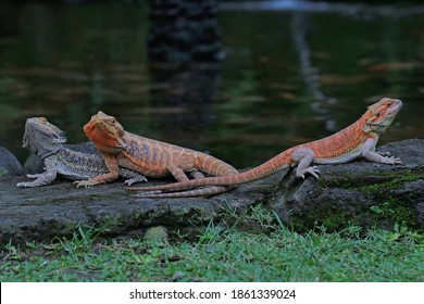 A group of bearded dragons (Pogona sp) are sunbathing before starting their daily activities.