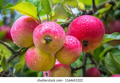 Group of beautiful aromatic apples in a garden. Malus domestica. Yummy sweet red fruits with rain drops on apple tree branch with green leaves. Selective focus. Idea of gardening, farming, orcharding.