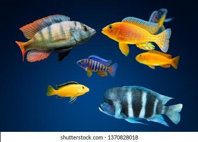 GROUP OF BEAUTIFUL COLORFUL AFRICAN AQUARIUM CICHLID FISH SWIMMING IN DARK BLUE WATER OF AQUARIUM TANK