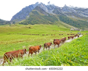 group of a beautiful cows go back to the farm near by the mountain at a countryside in France with green grass.
