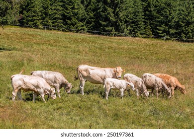 Group of beautiful cows grazing tranquilly on Alpine meadows.