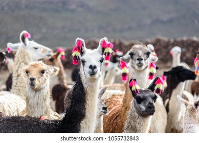Group of beautiful decorated Llamas in the highlands of Bolivia staring into the camera.