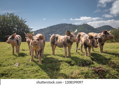 Group of beautiful family of pigs searching and asking for food looking at camera