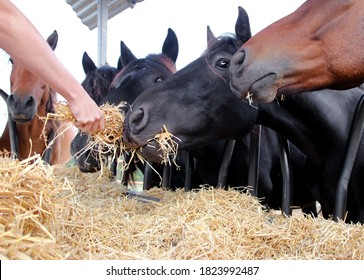 Group of beautiful farm horses feeding on hay. Hand of a caucasian female giving food to horses. Breeder or rancher providing straw. Farm industrial horse breeding and production.
