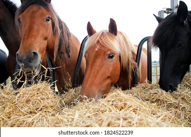 Group of beautiful farm horses feeding on hay. Portrait of black and brown hourses eating. Breeder or rancher providing straw. Farm industrial horse breeding and production.